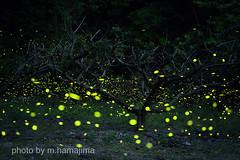 枯れ木に光を♪_K1_16845 (m.hamajima) Tags: pentax k1 蛍 ホタル ヒメボタル 姫蛍 fa77mmf18 firefly