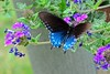 Pipevine Swallowtail (deanrr) Tags: pipevine pipevineswallowtail butterfly butterflyonflower 2018 spring morgancountyalabama container patioplantwithbutterfly nature outdoor alabama usa flower swallowtail plants purple blue leaves colors