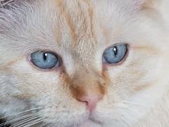 Bowie blue eyes (Stefanie Stringer) Tags: tomcat cat bowie blueeyes redpoint ragdoll closeup whiskers pet portrait macro animal