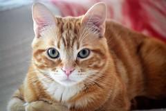 Spritz (En memoria de Zarpazos, mi valiente y mimoso tigre) Tags: cat ginger kitten gato gatito kitty gatto micio katze chat neko orangetabbymiciorossospritz spritzeddu chatonroux