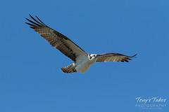 Intruding male Osprey makes a flyby