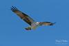 Intruding male Osprey makes a flyby (TonysTakes) Tags: osprey hawk firestone weldcounty wildlife colorado coloradowildlife bird raptor