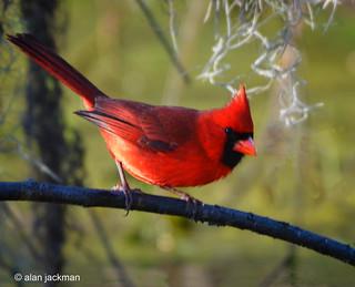 Northern Cardinal, Circle B Bar Reserve