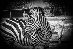 Curves and stripes (Pejasar) Tags: zebra blackandwhite bw stripes curves mammal animal arbucklewilderness animalsafari oklahoma painterly zoosofnorthamerica