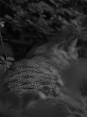 Camouflage trilogy 2 (nostalgic black and white) (The Wine Cat) Tags: camouflage nature cat tabby conceptualphotography lightstudy lightcontrol lightandshade quirky quaint impressionism experimental naturalism blackandwhite animal abstract dream ambigious ambiguous mystery pictorialism