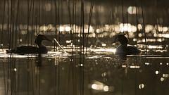 Haubentaucher (IIIfbIII) Tags: mv mecklenburg haubentaucher fleesensee morgensonne sunlight schilf frühling gegenlicht spiegelung lake water see taucher diver mecklenburgvorpommern bird canon birdphoto nature naturephotography fantasticnature golden