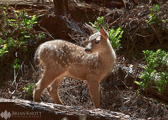 Forest Fawn (Brian Knott Photography) Tags: california sierra sierranevada forest mountain mountains wilderness trees redwoods redwood muirwoods muirwoodsnationalmonument nationalpark marinheadlands fawn deer baby young looking sunlight redwoodforest