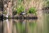♂︎ Wild Red Eared Slider (CJH Natural) Tags: ♂︎ wild redearedslider turtle reflection lake nest remerschen river water beauty beautiful lovely fantastic wonderful pose nikon nikond500 nikkor200500mm 200500 edvr 200500edvr nature wildlifephotography naturephotography light licht natur wildlife