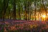 Bluebell Wood Sunrise (AppleTV.1488) Tags: anyvision bluebells england europe gb gbr greatbritain labels plants uk wildflowersofgreatbritain dawn deciduous ecosystem flora forest grove leaf nature naturereserve spring sunlight sunrise temperatebroadleafandmixedforest tree vegetation wildflower woodland froxfield wiltshire unitedkingdom cakewood appletv1488 2018 may 06052018 6may2018 06 nikond7100 18250mmf3563 27mmfocallength35mm am noflash landscapeapectratio f11 20secatf11