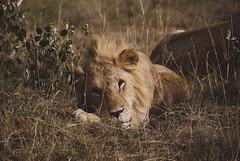 (jonas arlbrandt) Tags: masai mara kenya lion nature masaimara africa