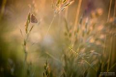 Fireworks (Tintin44 - Sylvain Masson) Tags: butterfly printemps procris sunset graminée herbe k3 papillon pentax tamron90