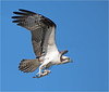 Osprey With Breakfast- (billkominsky ) Tags: naturethroughthelens coth5 ngc