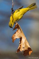 Checking for bugs. (Earl Reinink) Tags: bird animal migration oriole orchardoriole niagara wildlife nature woods outdoors earl reinink earlreinink toomuchtimeonmyhands ordazdodza