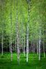 Spring birches (marregurra2012) Tags: tree birch spring green stems white
