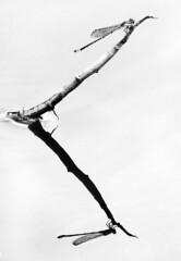 Blue Sprite (Nikita Hengbok) Tags: insectsofsingapore insect animal fauna nature animalsofsingapore wildlifeofsingapore dragonfliesanddamselfliesofsingapore damselfly dragonfly macrophotography insectmacro wildlifephotos wildlifepics wildlifephotography naturephotography