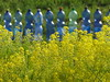 isatis tinctoria (nightcloud1) Tags: isatistinctoria woad guado blucolor pigment coloringplant veggiegarden bluandyellow indigoofthewest indaco