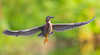 The Graceful Ballerina (agnish.dey) Tags: birding birdwatching bird bokeh heron green greenheron grassland flight florida wingspan dance naturallight nature naturephotograph animalplanet nikon d500 wadingbird