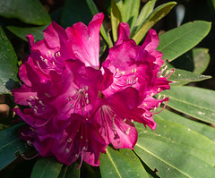 P5132016 (Photodendron) Tags: em1mk2 britzergarten blumen