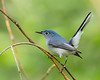 Compact... (ragtops2000) Tags: bluegraygnatcatcher small compact migrating quick beautiful colorful fast moving eye plumage breeding male branch forest fun