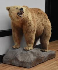 Wonders of Wildlfie National Museum and Aquarium (Adventurer Dustin Holmes) Tags: 2018 wondersofwildlife museum taxidermy bear animalia chordata mammal predators