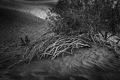 Life And Death On The Dunes (Mike Schaffner) Tags: bw blackwhite blackandwhite bush bushes deathvalley deathvalleynationalpark dunes dvnp mesquitedunes monochrome nationalpark park sand sanddunes stovepipewells california unitedstates us