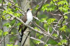 Yellow-billed Cuckoo (Jim McCree) Tags: yellowbilledcuckoo coccyzusamericanus smyrnadelaware bombayhooknwr may 2018