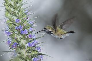 _J3A7015 7D Mark ll Tamron 150-600mm G2 Calliope Hummingbird