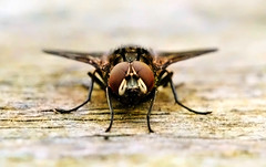 Human fly. (Wright-Leslie) Tags: macro fly 60mm face