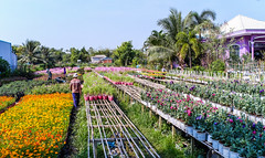 Flower plantation in Mekong Delta, Vietnam (phuong.sg@gmail.com) Tags: annual asia beautiful beauty blossom botany climate colored common decoration delta flower formal garden grandiflora grass green growth head herb leaf magenta mekong morning moss multi nature orange petal pink plant portulaca purple purslane river rose small south spring stamen succulent tropical vietnam yellow
