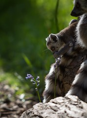 Snack time! (claudiacridge) Tags: flower food snack zoo nature wildlife ringtailed baby lemur animal