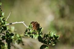 Pararge aegeria (esta_ahi) Tags: olèrdola penedès barcelona spain españa испания mariposa papallona butterfly lepidoptera insectos fauna pararge aegeria parargeaegeria nymphalidae