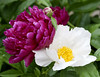 White and red peonies (Shotaku) Tags: garden flowers flower macro closeup pair two duo plants plant blooms blooming outdoors
