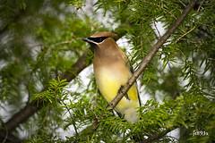 Cedar Waxwing (jt893x) Tags: 150600mm bird bombycillacedrorum cedarwaxwing d500 jt893x nikon nikond500 sigma sigma150600mmf563dgoshsms waxwing coth thesunshinegroup alittlebeauty coth5