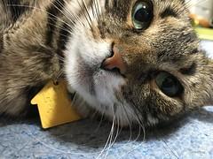 Tigger Knows (sjrankin) Tags: japan hokkaido yubari bedroom floor closeup tigger cat animal edited 20april2018