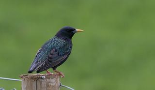 Starling-Sturnus vulgaris