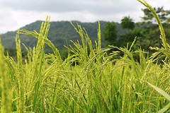 Natural Food (Voyage Photography) Tags: rice riceasia asianrice rices greenrice unharvestedrice harvest harvestrice riceharvest asia philippines asiaphilippines homegrown nature beautifulnature naturesblessing food asianfood ricefood foodrice asiarice travel travelbohol beholdbohol boholrice ricefarming farm farming ricegrown candijay candijaybohol travelcandijay seebohol explorebohol native nativerice green outdoor outside fresh ricegrains grainofrice staplediet asiandiet ricediet diet plentiful agricultural agriculture agri canoneos70d canon canonphotography canoneos eos70d eos 70d canon70d 18135mm