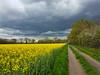 Avant la tempête sur les champs de colza (Livith Muse) Tags: jaune colza ciel nuage tempête arbre gris panachallenge saintcyrenval centre france fra chemin pathway champ field samsung galaxy s7 rapeseed dxo