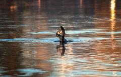 Greedy (petrisalonen) Tags: bird cormorant fish fishing breakfast finland imatra nature birdphotography sun sunlight light river reflection
