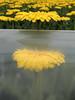 Contrasts (Shahrazad26) Tags: gerberas westland komindekas bloemen flowers fleurs blumen kassen geel jaune yellow gelb zuidholland nederland holland thenetherlands paysbas
