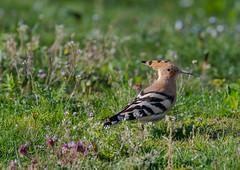 Hoopoe 26-04-2018-4742 (seandarcy2) Tags: hoopoe birds wildlife uk occasional visitor