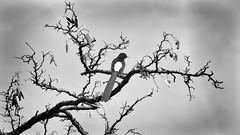Soy blanco y negro (Renate Bomm) Tags: renatebomm sonyilce6000 7dwf ast bw bandw parajo schwarzweis tree vogel
