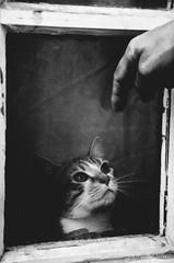 (nuriapase) Tags: orleans animals blancinegre cat gat gato blackandwhite black white window monocrome frame pet look