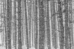 Snow Falling in Red Pine Plantation in Central Michigan (Lee Rentz) Tags: april canadianlakes norwaypine america bark bigrapids blizzard boles branches centralmichigan dense evenlyspaced fallen falling forest horizontal impressionistic industry lines logging lowerpeninsula lumber michigan northamerica pine pineplantation pines pinusresinosa plantation planted redpine regimented rows sandysoil snow snowflakes snowing snowy spacing stanwood straight tree trees trunks usa whorls winter wintery wintry woods