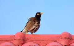Common Myna (Acridotheres tristis) (Steve Arena) Tags: thailandbirding2017 thailand 2017 bird birds birding nikon d750 chiangmai commonmyna commmonmyna myna