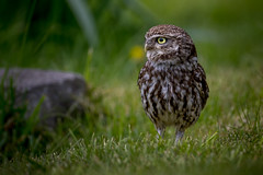 Little Owl (irelaia) Tags: little owl wild bird grass green looking for food