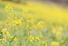 Yellow (on explore 21/04/2018) (raffaella.rinaldi) Tags: yellow field flower spring nature focus bokeh soft green plant