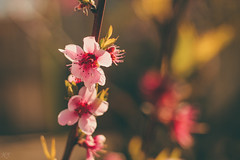 Peach blossoms (Hasan Yuzeir 📷) Tags: peach blossom spring flower nature colorful macro focus canon 1300d hasanyuzeir