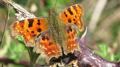 Comma (grahamedenney) Tags: commabutterfly pegwellbay april2018