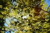 April sunrays (piotroginski) Tags: spring sunrays light leaves maple tree green sky park nikon d5200 sun