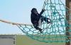 in the playground (@Katerina Log) Tags: playground net climb monkey katerinalog outdoor attikazoopark animal wild wildlife mammal playfulness play daylight depthoffield sonyilce9 fe70200mmf4goss greece griechenland chimbazee